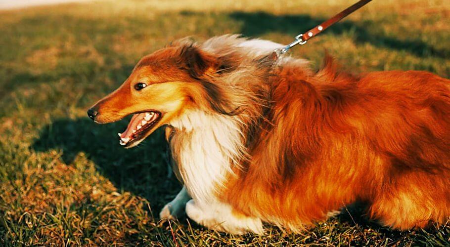Cómo evitar que mi perro tire de la correa