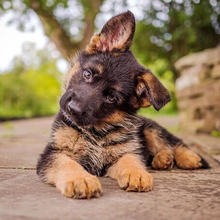Cachorro raza pastor alemán tumbado