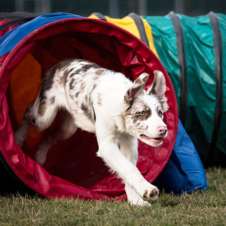 Colegio canino ofrece clases de agility
