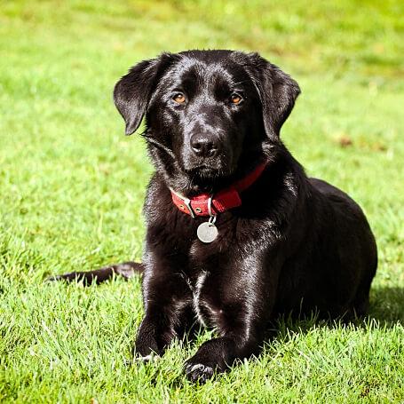 Perro raza labrador negro hechado con collar rojo