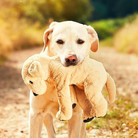 Perro raza Labrador mordiendo un peluche