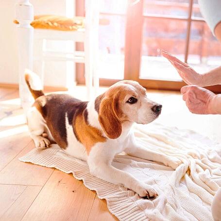 Perro raza beagle echado