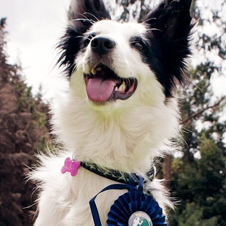 Competencia de Agility Asociación Club Canino Colombiano