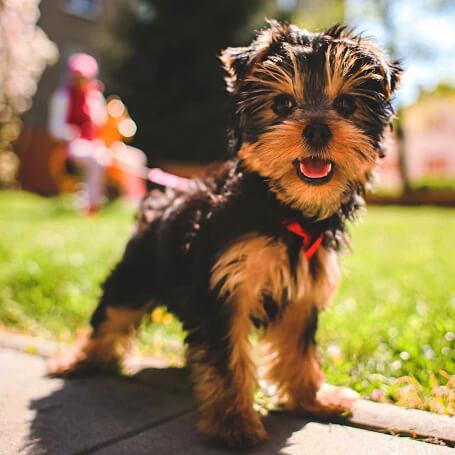 Perro raza Yorkshire Terrier