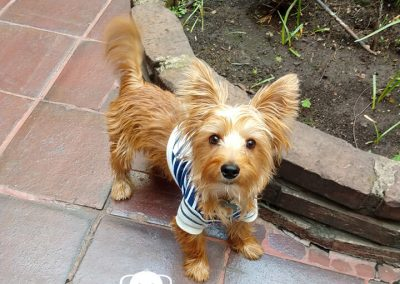 Australian Terrier cachorro
