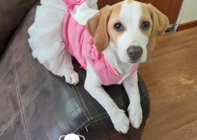Beagle cachorra