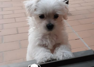 Bichón Maltés cachorro