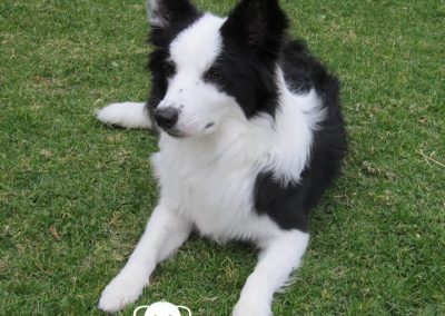 Border Collie cachorra