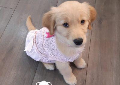 Golden Retriever cachorra