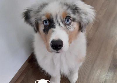 Pastor Ovejero Australiano cachorro