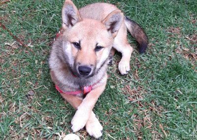 Shiba Inú cachorra