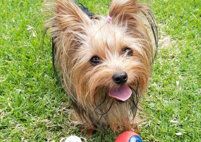 Yorkshire Terrier cachorra