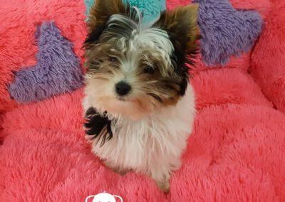 Yorkshire Terrier Biewer cachorra