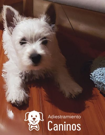 West Highland terrier white