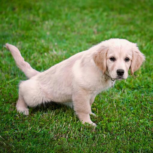 Perro orinando en el pasto