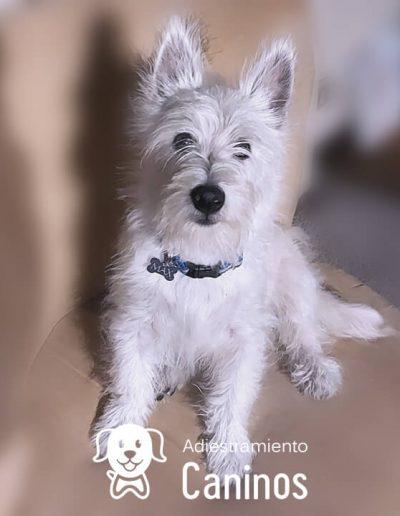 West Highland terrier white
